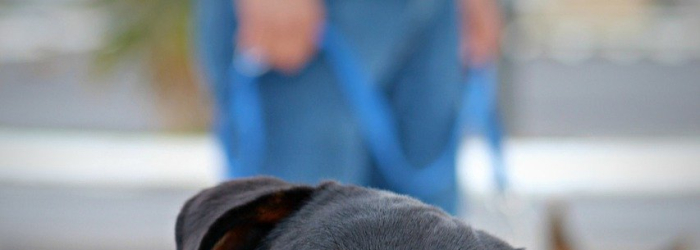 Origin and History of Rottweilers