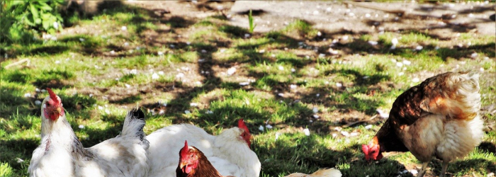 How To Keep Chickens From Leaving Your Yard