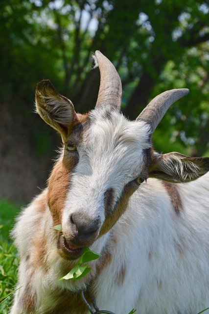 Best Goats For Eating Weeds