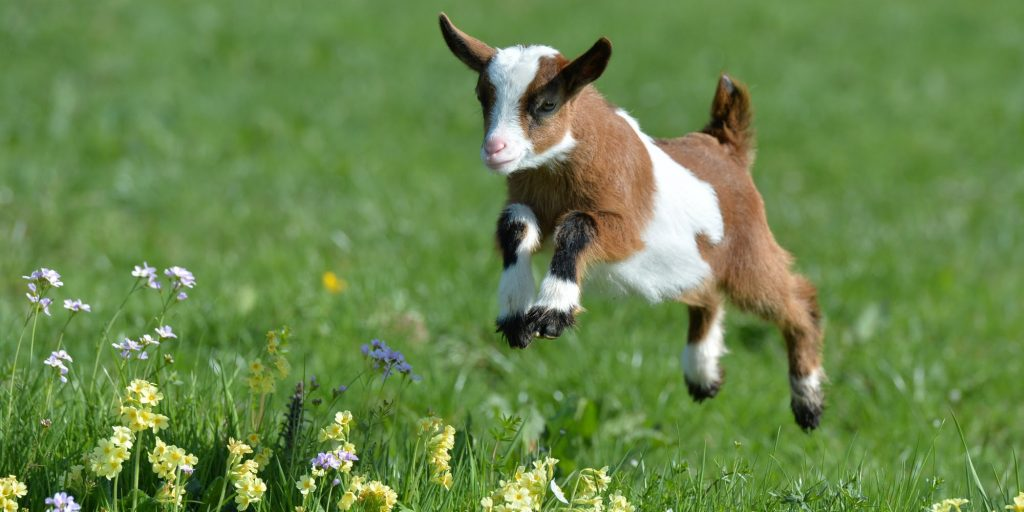 How much are miniature goats